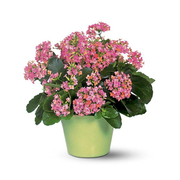 Cette Plante Vivace Produit Une Multitude De Petites Fleurs Roses